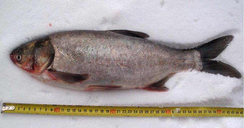 kolagen rybi